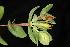 (Hypericum tetrapetalum - OSBAR000084)  @11 [ ] Copyright (2014) Florida Museum of Natural History Florida Museum of Natural History