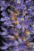 (Pontederia - OSBAR000199)  @11 [ ] Copyright (2014) Florida Museum of Natural History Florida Museum of Natural History