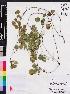 (Rhynchosia - OSBAR000243)  @11 [ ] Copyright (2014) Florida Museum of Natural History Florida Museum of Natural History
