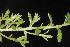 (Lechea - OSBAR000249)  @11 [ ] Copyright (2014) Florida Museum of Natural History Florida Museum of Natural History