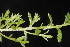 (Cistaceae - OSBAR000249)  @11 [ ] Copyright (2014) Florida Museum of Natural History Florida Museum of Natural History