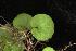 (Dichondra carolinensis - OSBAR000262)  @11 [ ] Copyright (2014) Florida Museum of Natural History Florida Museum of Natural History