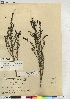 (Suaeda torreyana - CCDB-23309-E11)  @11 [ ] CreativeCommons - Attribution Non-Commercial Share-Alike (2014) BIO Photography Group Biodiversity Institute of Ontario