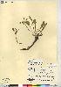 (Claytonia megarhiza - CCDB-23309-G12)  @11 [ ] CreativeCommons - Attribution Non-Commercial Share-Alike (2014) BIO Photography Group Biodiversity Institute of Ontario