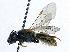 (Evylaeus - SHMELa-A06)  @14 [ ] Copyright (2011) Timofey V. Levchenko State Darwin museum