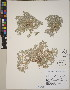 (Psilocarphus - CCDB-23364-C09)  @11 [ ] CreativeCommons - Attribution Non-Commercial No Derivatives (2014) Linda Jennings University of British Columbia