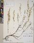 (Artemisia tridentata subsp  tridentata - CCDB-23364-F01)  @11 [ ] CreativeCommons - Attribution Non-Commercial No Derivatives (2014) Linda Jennings University of British Columbia