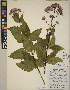 (Eutrochium - CCDB-23364-G03)  @11 [ ] CreativeCommons - Attribution Non-Commercial No Derivatives (2014) Linda Jennings University of British Columbia