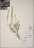 (Artemisia tripartita - CCDB-23364-H01)  @11 [ ] CreativeCommons - Attribution Non-Commercial No Derivatives (2014) Linda Jennings University of British Columbia