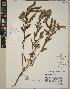 (Anchusa arvensis - CCDB-23366-C02)  @11 [ ] CreativeCommons - Attribution Non-Commercial No Derivatives (2014) Linda Jennings University of British Columbia