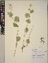 (Cardamine cordifolia - CCDB-23366-D12)  @11 [ ] CreativeCommons - Attribution Non-Commercial No Derivatives (2014) Linda Jennings University of British Columbia