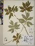 (Hydrophyllum - CCDB-23366-F07)  @11 [ ] CreativeCommons - Attribution Non-Commercial No Derivatives (2014) Linda Jennings University of British Columbia