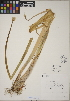 (Allium fistulosum - CCDB-23388-F03)  @11 [ ] CreativeCommons - Attribution Non-Commercial No Derivatives (2014) Linda Jennings University of British Columbia