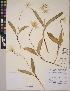 (Erythronium montanum - CCDB-23388-H01)  @11 [ ] CreativeCommons - Attribution Non-Commercial No Derivatives (2014) Linda Jennings University of British Columbia