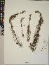 (Myriophyllum pinnatum - CCDB-23390-A09)  @11 [ ] CreativeCommons - Attribution Non-Commercial No Derivatives (2014) Linda Jennings University of British Columbia