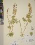 (Lupinus arbustus - CCDB-23390-C05)  @11 [ ] CreativeCommons - Attribution Non-Commercial No Derivatives (2014) Linda Jennings University of British Columbia