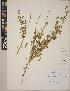 (Lupinus polycarpus - CCDB-23390-F06)  @11 [ ] CreativeCommons - Attribution Non-Commercial No Derivatives (2014) Linda Jennings University of British Columbia