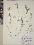 (Lathyrus bijugatus - CCDB-23390-G05)  @11 [ ] CreativeCommons - Attribution Non-Commercial No Derivatives (2014) Linda Jennings University of British Columbia