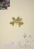 (Euphorbia heterophylla - CCDB-23390-H04)  @11 [ ] CreativeCommons - Attribution Non-Commercial No Derivatives (2014) Linda Jennings University of British Columbia