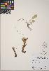 (Orobanche corymbosa subsp. mutabilis - CCDB-24910-H09)  @11 [ ] CreativeCommons - Attribution Non-Commercial No Derivatives (2014) Linda Jennings University of British Columbia