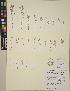 (Polygonum polygaloides subsp. confertiflorum - CCDB-24912-B06)  @11 [ ] CreativeCommons - Attribution Non-Commercial No Derivatives (2014) Linda Jennings University of British Columbia