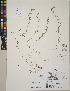 (Polygonum humifusum subsp. caurianum - CCDB-24912-D06)  @11 [ ] CreativeCommons - Attribution Non-Commercial No Derivatives (2014) Linda Jennings University of British Columbia