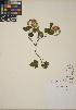 (Physocarpus - CCDB-24913-E05)  @11 [ ] CreativeCommons - Attribution Non-Commercial No Derivatives (2014) Linda Jennings University of British Columbia