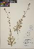(Poterium - CCDB-24913-E06)  @11 [ ] CreativeCommons - Attribution Non-Commercial No Derivatives (2014) Linda Jennings University of British Columbia
