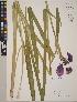 (Iris ensata - CCDB-24917-E01)  @11 [ ] CreativeCommons - Attribution Non-Commercial No Derivatives (2014) Linda Jennings University of British Columbia