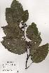 (Hovenia dulcis - PDBK1996-0072)  @11 [ ] Copyright (1996) Ki Joong Kim Korea University Herbarium (KUS)