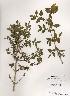 (Lonicera subhispida - PDBK2000-0247)  @11 [ ] Copyright (2000) Ki Joong Kim Korea University Herbarium (KUS)