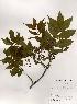 (Picrasma - PDBK2000-0569)  @11 [ ] Copyright (2000) Ki Joong Kim Korea University Herbarium (KUS)