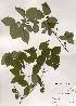 (Lonicera praeflorens - PDBK2000-0597)  @11 [ ] Copyright (2000) Ki Joong Kim Korea University Herbarium (KUS)