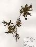 (Fraxinus sieboldiana - PDBK2000-0789)  @11 [ ] Copyright (2000) Ki Joong Kim Korea University Herbarium (KUS)