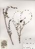 (Wisteria - PDBK2001-0520)  @11 [ ] Copyright (2001) Ki Joong Kim Korea University Herbarium (KUS)