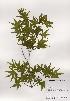 ( - PDBK2001-0535)  @11 [ ] Copyright (2001) Ki Joong Kim Korea University Herbarium (KUS)