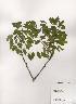 (Maackia - PDBK2001-0701)  @11 [ ] Copyright (2001) Ki Joong Kim Korea University Herbarium (KUS)