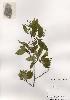 (Amelanchier asiatica - PDBK2001-0702)  @11 [ ] Copyright (2001) Ki Joong Kim Korea University Herbarium (KUS)
