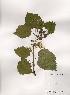 (Schizophragma - PDBK2001-0708)  @11 [ ] Copyright (2001) Ki Joong Kim Korea University Herbarium (KUS)