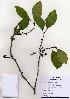(Diospyros kaki - PDBK2004-0835)  @11 [ ] Copyright (2004) Ki Joong Kim Korea University Herbarium (KUS)