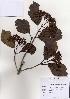 (Viburnum dilatatum - PDBK2004-1041)  @11 [ ] Copyright (2004) Ki Joong Kim Korea University Herbarium (KUS)