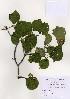 (Viburnum dilatatum - PDBK2004-1068)  @11 [ ] Copyright (2004) Ki Joong Kim Korea University Herbarium (KUS)