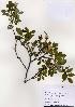 (Rosa koreana - PDBK2004-1253)  @11 [ ] Copyright (2004) Ki Joong Kim Korea University Herbarium (KUS)