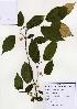(Actinidiaceae - PDBK2004-1275)  @11 [ ] Copyright (2004) Ki Joong Kim Korea University Herbarium (KUS)