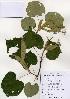 (Tilia mandshurica - PDBK2004-1299)  @11 [ ] Copyright (2004) Ki Joong Kim Korea University Herbarium (KUS)