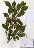 (Styracaceae - PDBK2005-0319)  @11 [ ] Copyright (2005) Ki Joong Kim Korea University Herbarium (KUS)