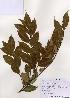 (Castanopsis - PDBK2005-0463)  @11 [ ] Copyright (2005) Ki Joong Kim Korea University Herbarium (KUS)
