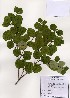 (Rhododendron weyrichii - PDBK2005-0536)  @11 [ ] Copyright (2005) Ki Joong Kim Korea University Herbarium (KUS)