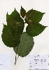 ( - PDBK2005-0657)  @11 [ ] Copyright (2005) Ki Joong Kim Korea University Herbarium (KUS)