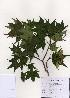 (Acer truncatum - PDBK2005-1051)  @13 [ ] Copyright (2005) Ki Joong Kim Korea University Herbarium (KUS)